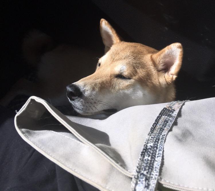 Kenzo chien Shiba Inu dans mon sac de fille blog france