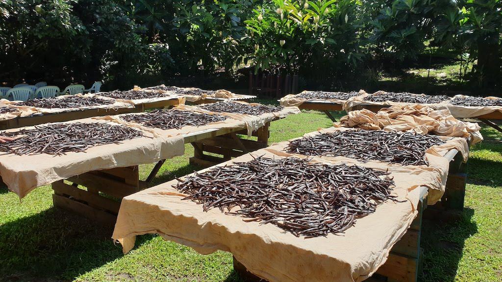 Gousses de vanille qui sèchent au soleil Taha'a