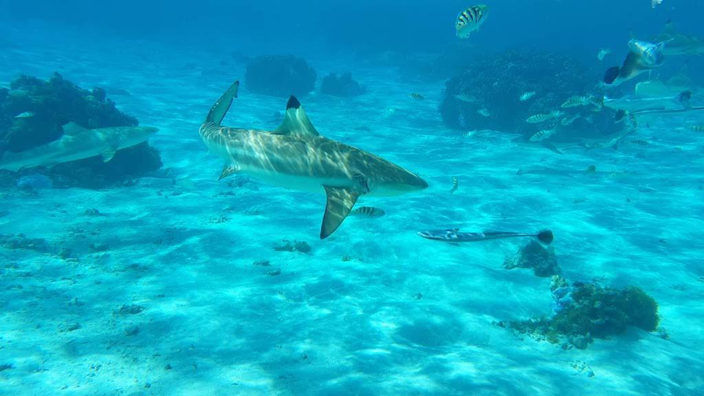 requins Taha'a