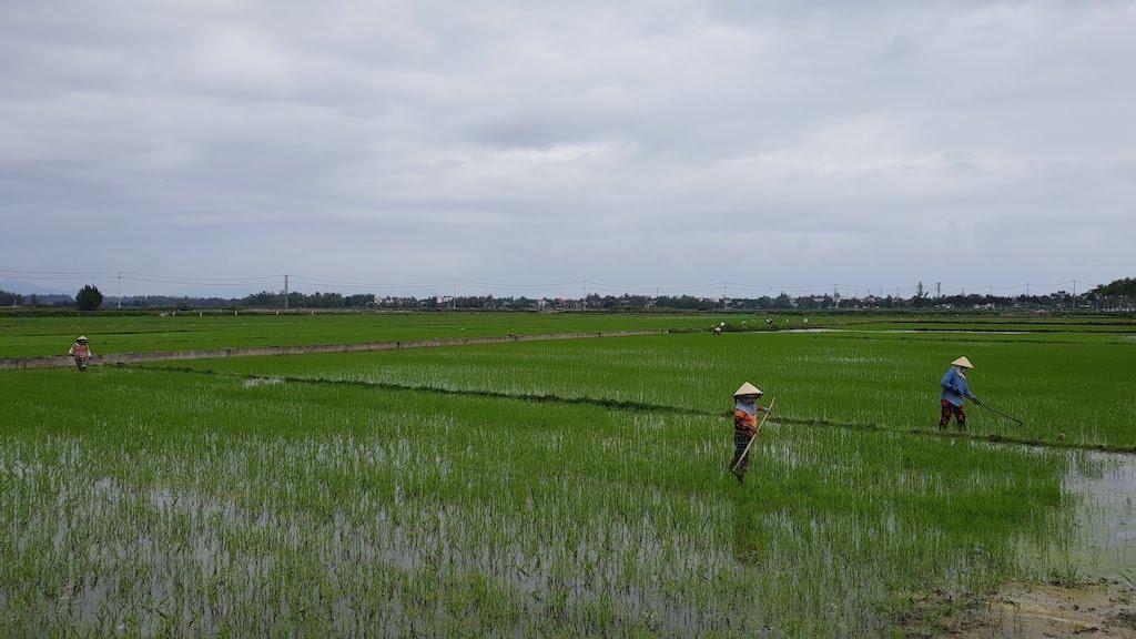 rizières Hoi An