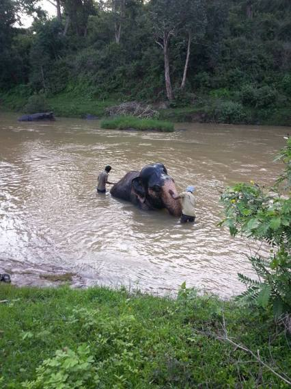The elephant receiving its daily bath from the mahouts