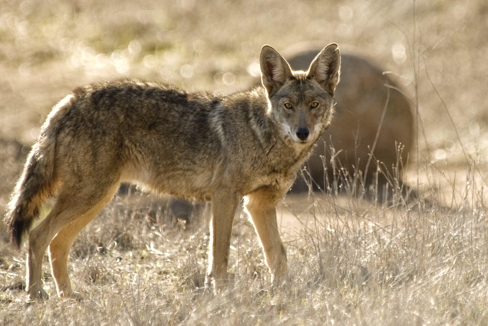 https://i1.wp.com/danthompsongamecalls.com/wp-content/uploads/2014/10/bigstock-Coyote-4186001.jpg