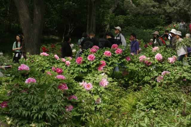 Bujori in Jingshan 11
