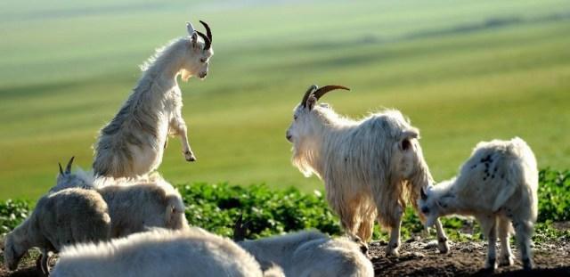 Anul nou al caprei 2015