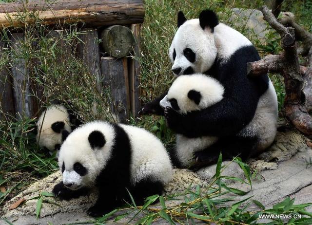 Primii tripleti de urs panda supravietuitori la nastere 0