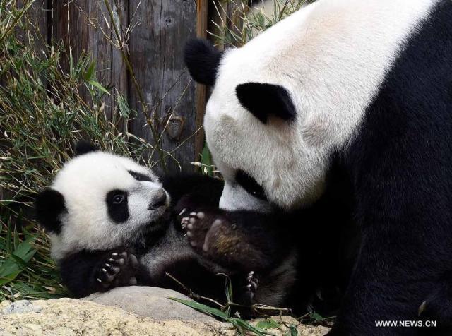 Primii tripleti de urs panda supravietuitori la nastere 2