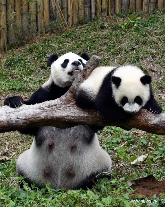 Primii tripleti de urs panda supravietuitori la nastere 4
