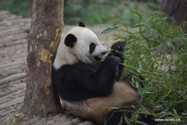 Doi ursi panda imprumutati la Hong Kong 3