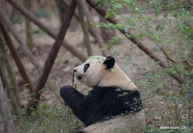Doi ursi panda imprumutati la Hong Kong 4