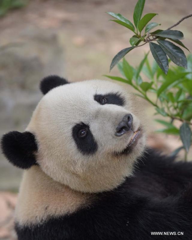 Doi ursi panda imprumutati la Hong Kong 5
