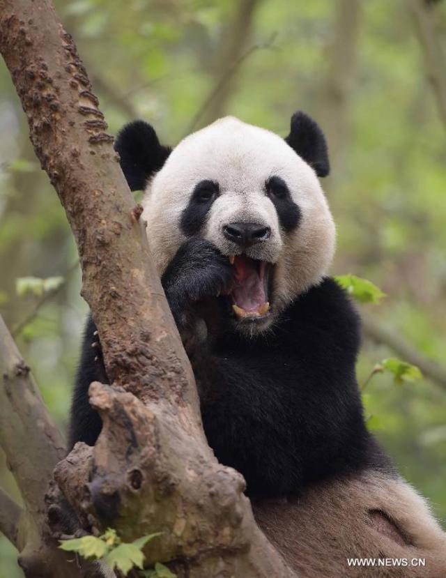 Doi ursi panda imprumutati la Hong Kong 7