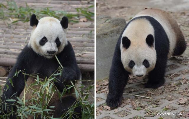 Doi ursi panda imprumutati la Hong Kong 8