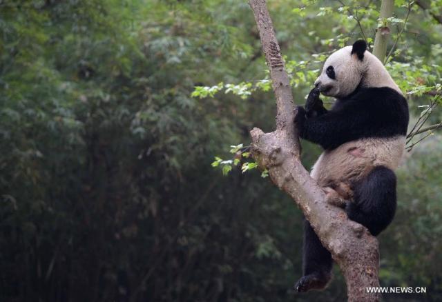 Doi ursi panda imprumutati la Hong Kong 9