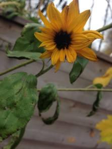 Sunflower in an Urban Garden