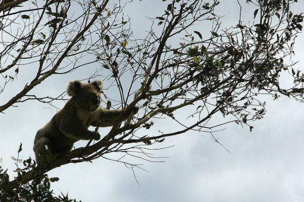 Een schattige koala langs the Great Ocean Road