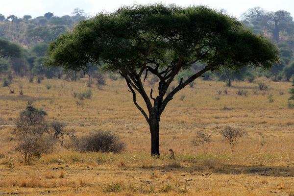 baobab-cheetah-tarangire-national-park-tanzania