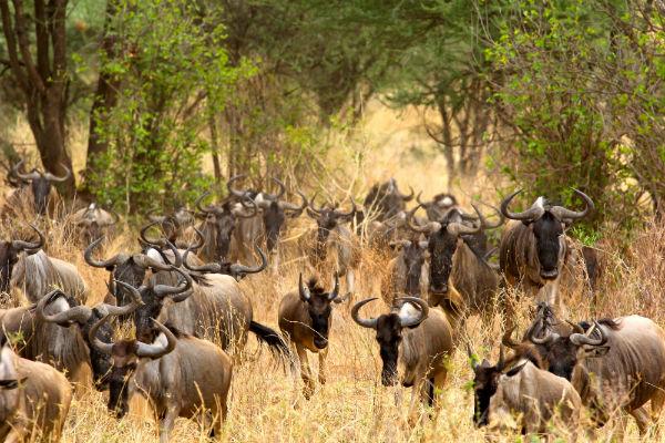 gnoes-tarangire-national-park-tanzania