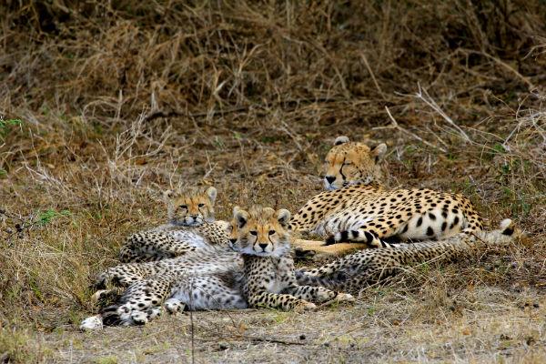 cheetah met babies ndutu noord tanzania