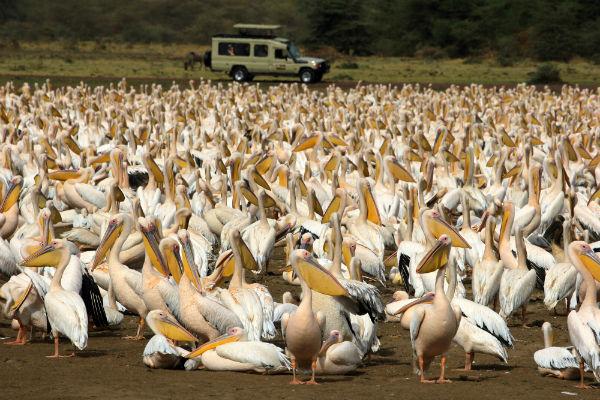 duizenden roze pelikanen lake manyara noord tanzania