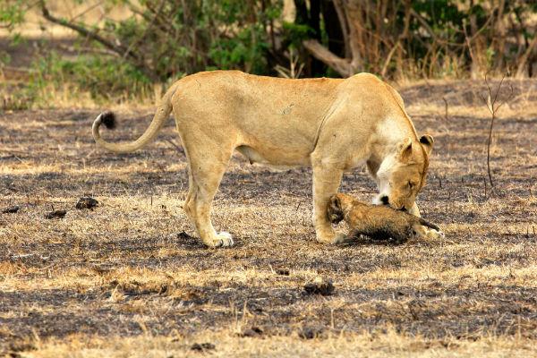 moeder leeuw met welpje ngorongoro krater noord tanzania