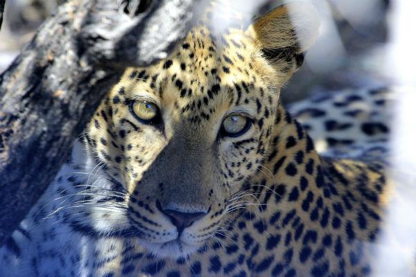 op safari in namibie vond ik dit luipaard