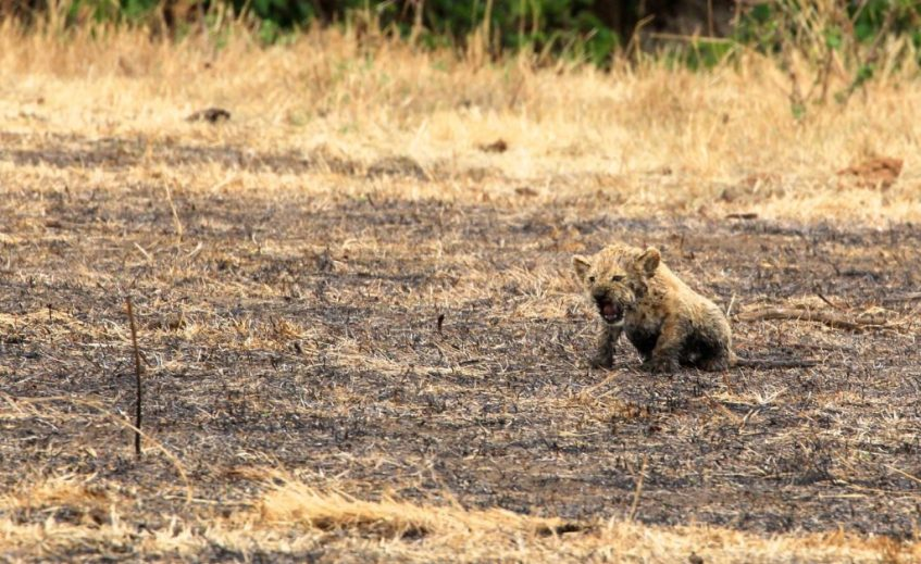 Baby leeuw in de Ngorongoro Krater Tanzania