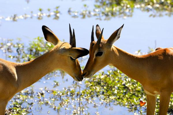 Impala's in de Okavango Delta Botswana