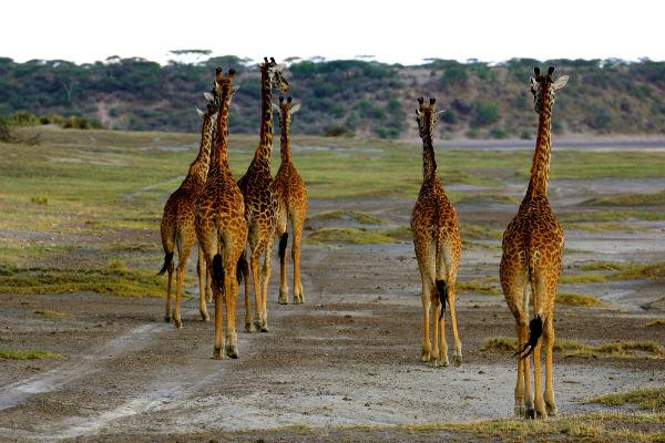 giraffes-ndutu-gebied-noord-tanzania
