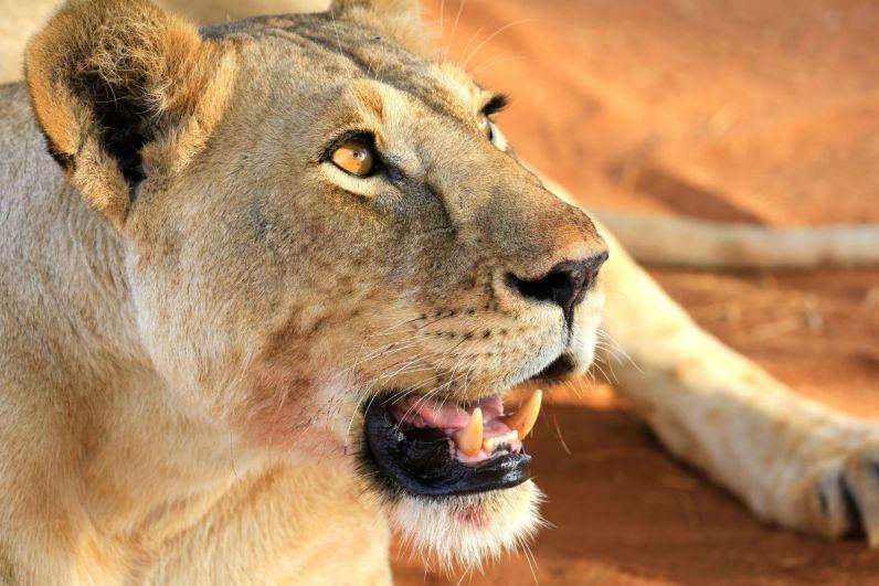 Uitpuffende leeuw nadat ze haar buik vol heeft gegeten met pumba in Tarangire National Park Tanzania