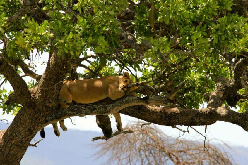 boomklimmende leeuw in de serengeti Tanzania