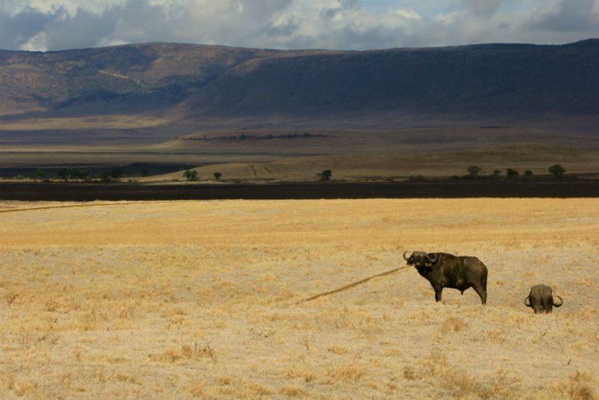 buffels in de droge ngorongoro krater Tanzania