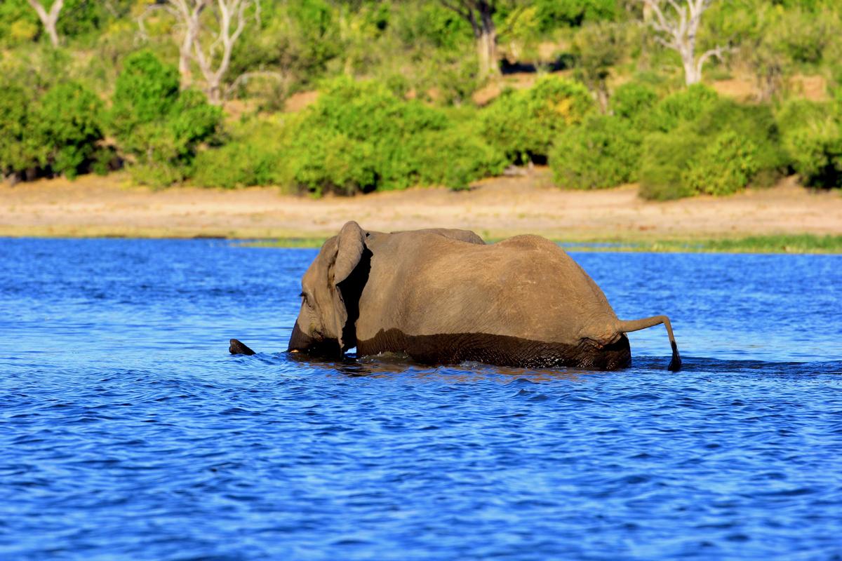 Een olifant kan zwemmen in Botswana
