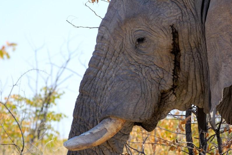 Olifanten zijn magische beesten en zijn er vollop in Etosha National Park in Namibie