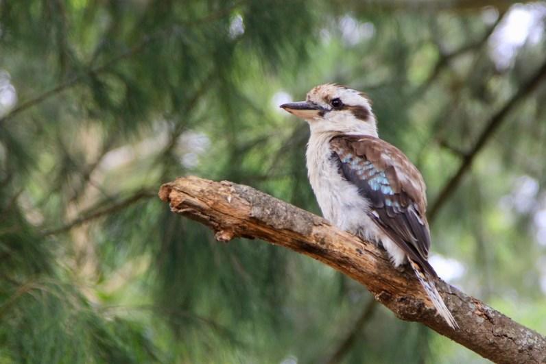 Een Kookaburra is een van de unieke Australische dieren die je gezien wilt hebben