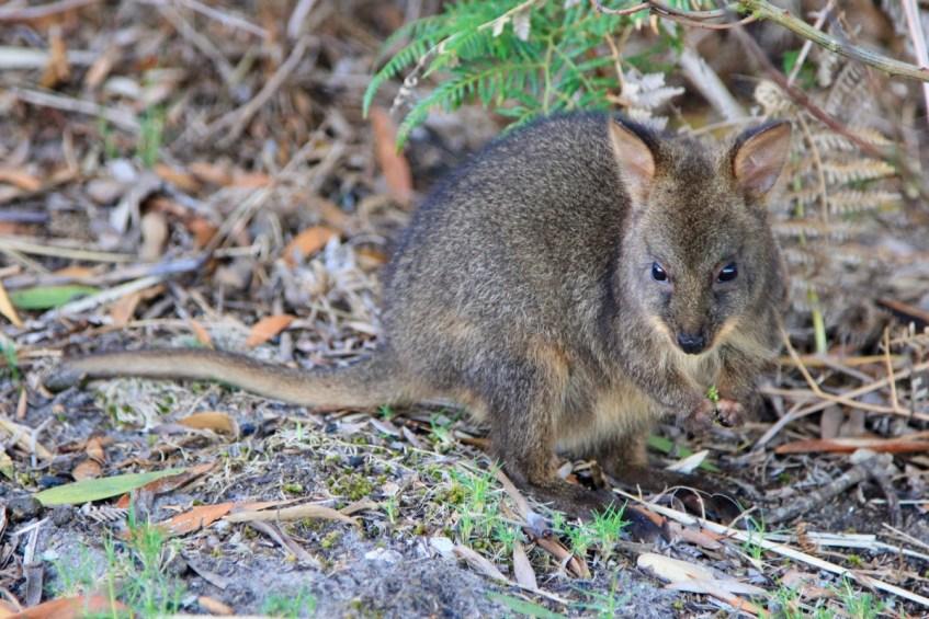 Een Pademelon is een van de unieke Australische dieren die je gezien wilt hebben