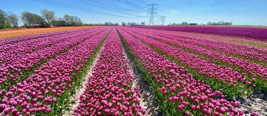 De mooiste tulpenvelden in Groningen provincie