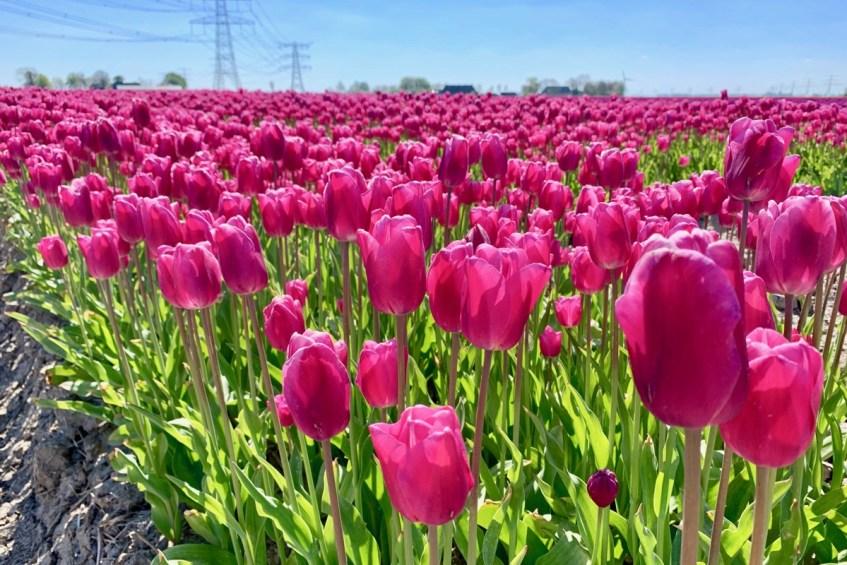 Dit zijn de mooiste tulpenvelden in de provincie Groningen