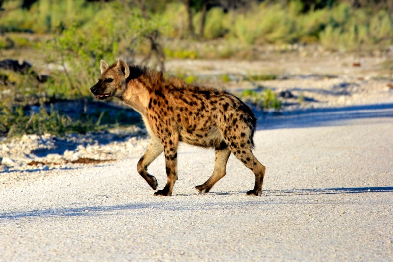 Een hyena spotten in Etosha National Park is top