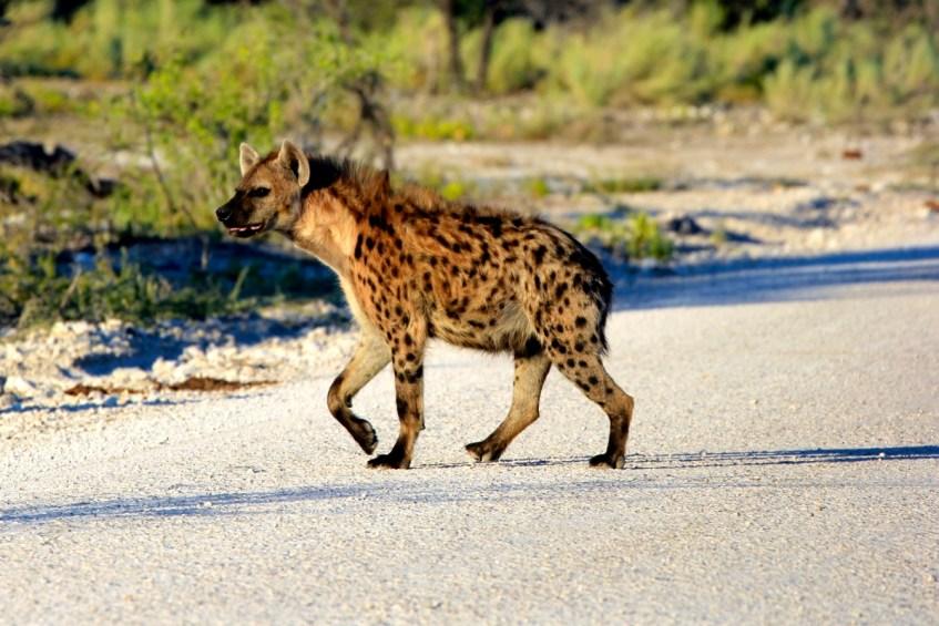 Een hyena spotten in Etosha National Park is top