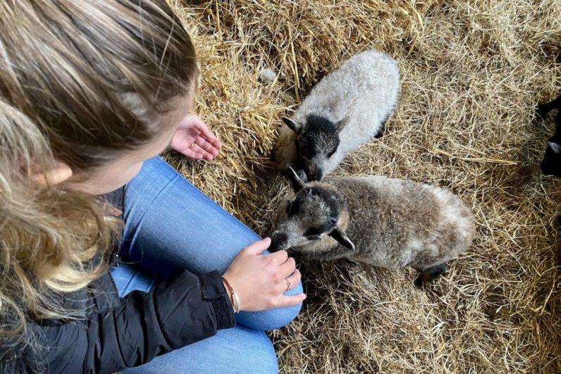 De schapenboerderij op Texel is de plek om lammetjes te knuffelen
