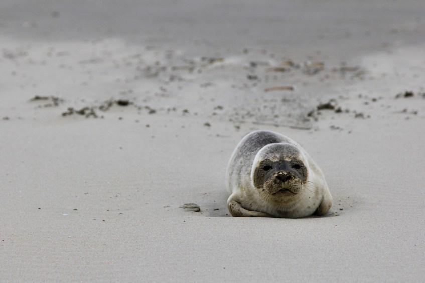 Als je geluk hebt spot je net als ik een zeehond tijdens een wandeling op Texel in de Slufter