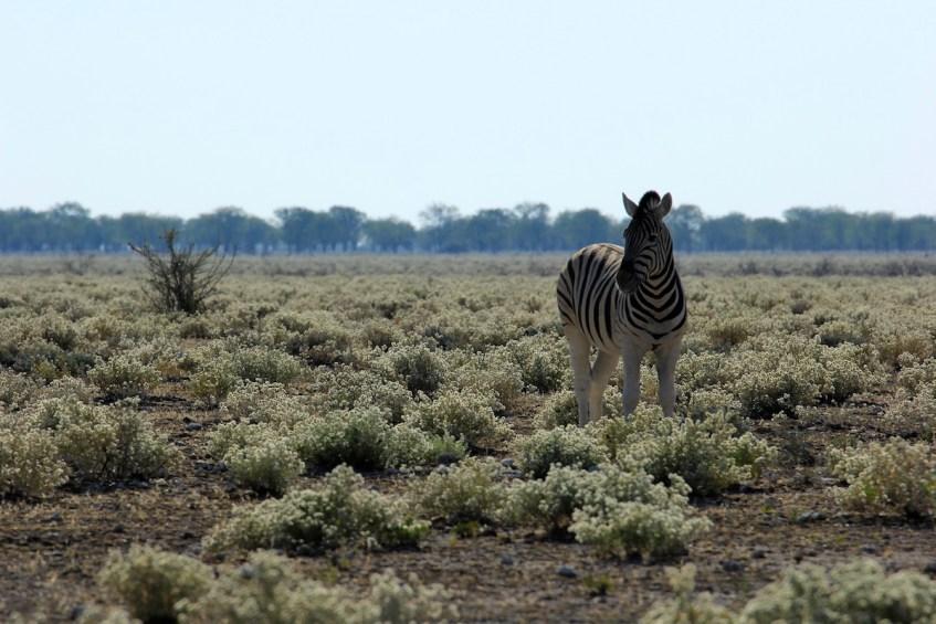Etosha National Park is dé plek voor safari in Namibië