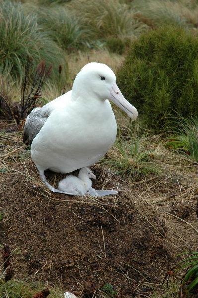 Albatross @ Taiaroa Head