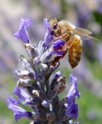 Honey bees on the organic lavender at Lion Springs Lavender Farm in Carmel Valley, California.