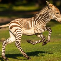 Dash Joins Kilimanjaro Safaris at Disney's Animal Kingdom