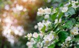 42322393 - jasmine spring flowers with raindrops.