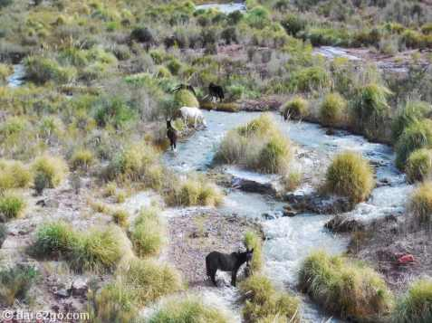Paso San Francisco, RN60, Argentina: horses (and maybe one donkey) drinking from a mountain stream