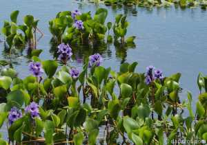 Iberá: floating water hyacinth with lovely flowers