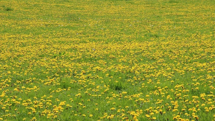 A field of wild weeds ready for harvest