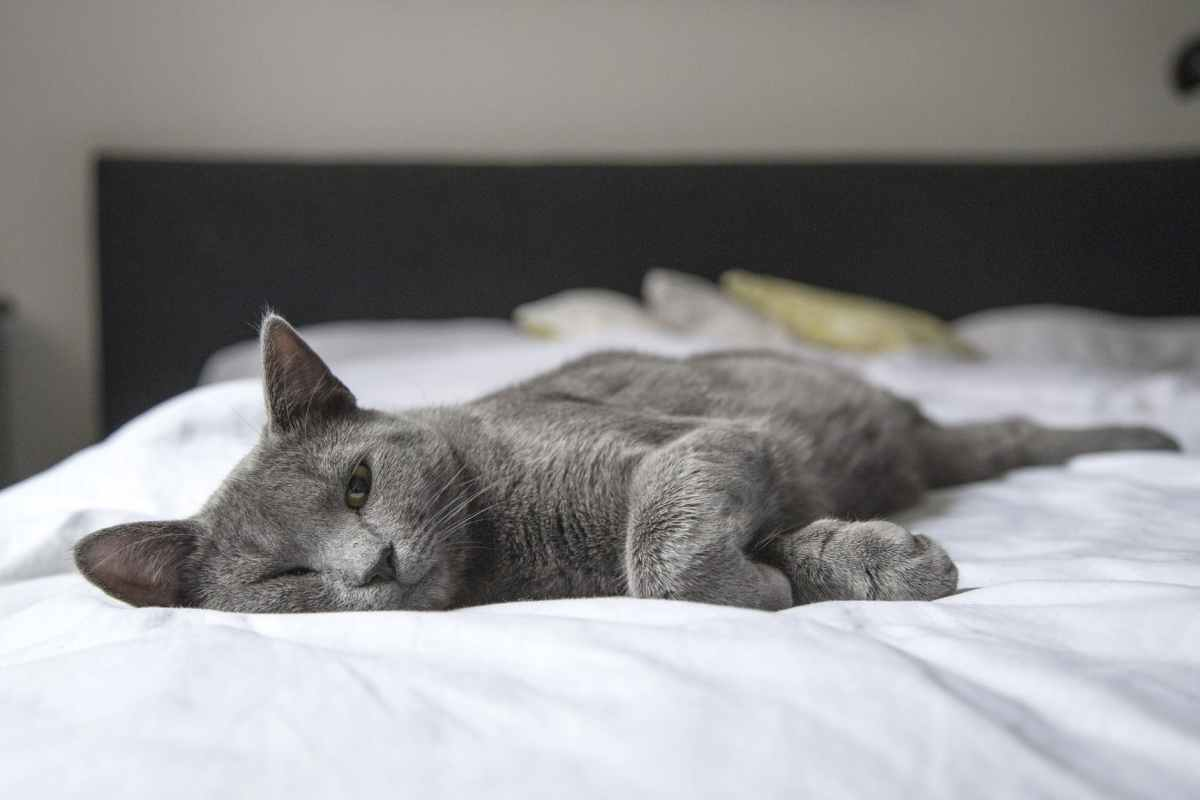 Photo of a grey cat lying on a bed with half-closed eyes